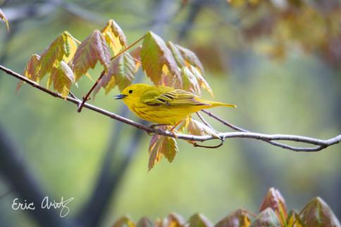Yellow Warbler, VT