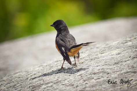 Eastern Towhee Standing Tall
