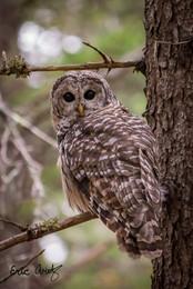 Barred Owl, Acadia