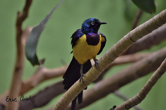 Purple & Yellow Bird
