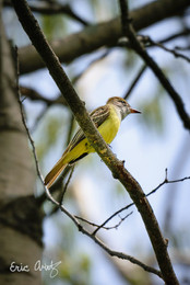 Great Crested Flycatcher, VT