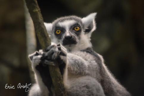 Lemur Staring Contest