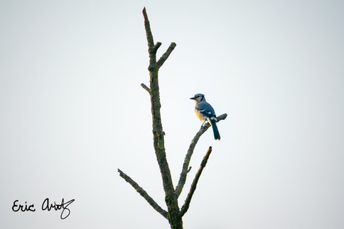 Blue Jay at Golden Hour