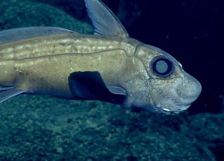 Ghost Sharks? Rat fish? Rabbit fish? No, Chimaera!