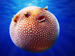 Why do Pufferfish inflate themselves?