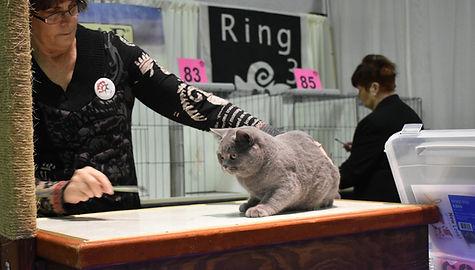 Cat Show British Shorthair