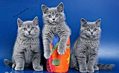 F.A.Q British shorthair