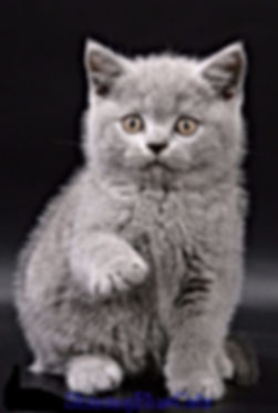 british shorthair personality