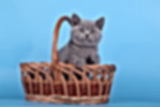 breeding British Shorthair