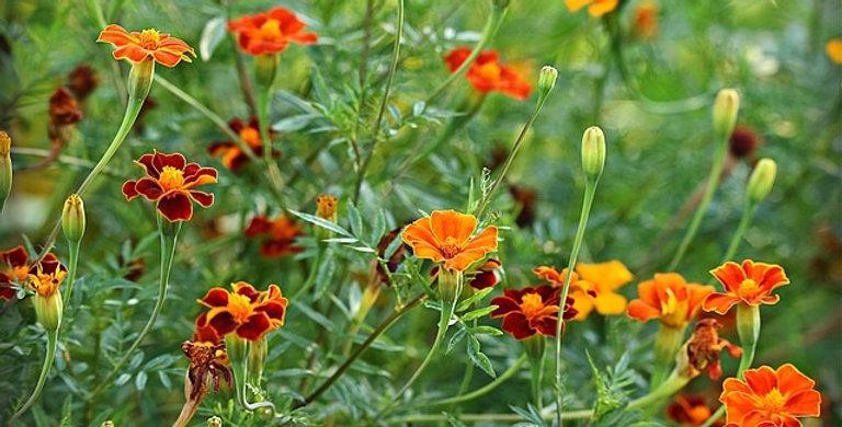 Tagetes (Studentenblumen) Mix