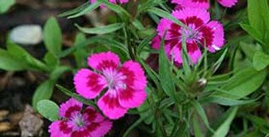 Bartnelke ( rosa )