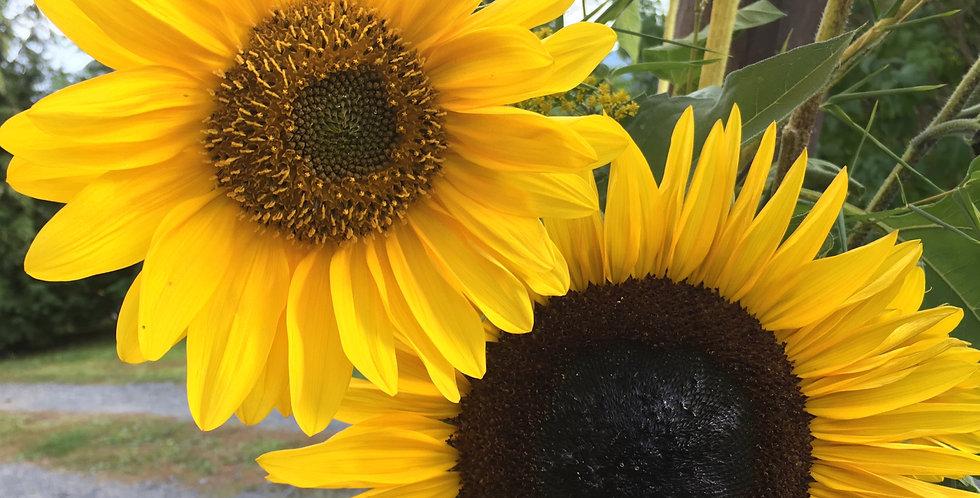 Sonnenblume mehrblütig