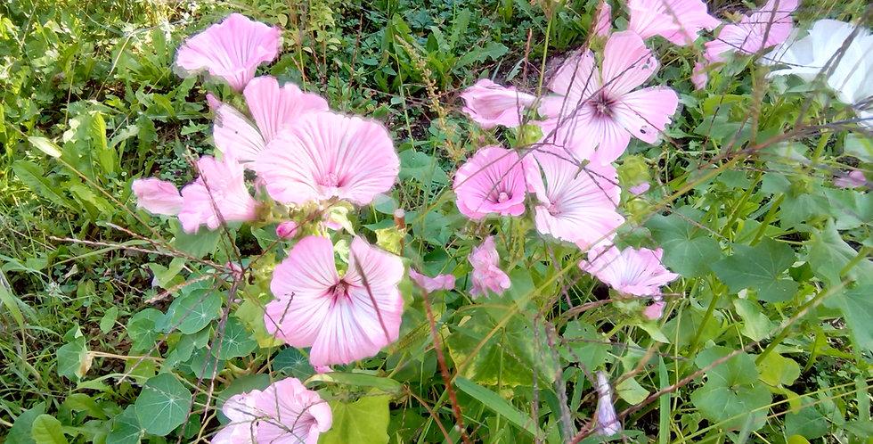 Bechermalve ( rosa / weiß )