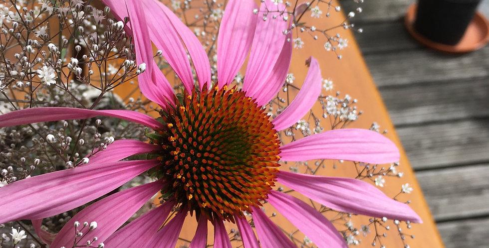Purpur-Sonnenhut ( Echinacea )
