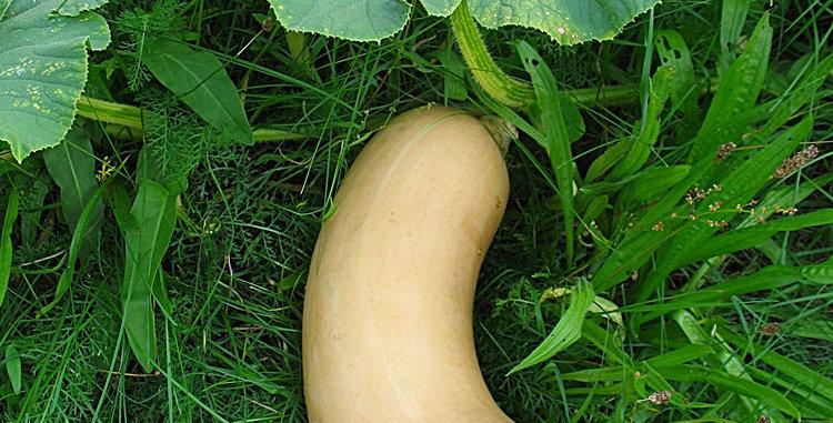 Moschuskürbis ( Butternut )