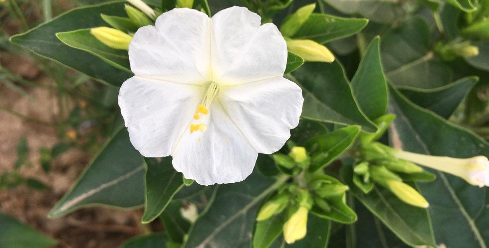 Japanische Wunderblume ( weiss )