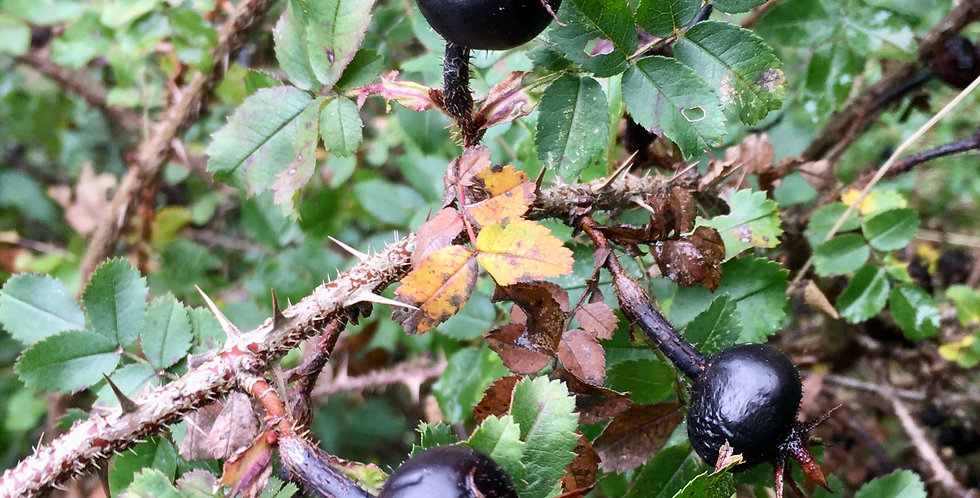 Schwarze Hagebutte   ( Rosa Pimpinellifolia )