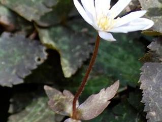 植物ニュース ユキワリイチゲ