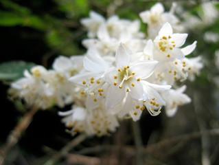 植物ニュース 卯の花