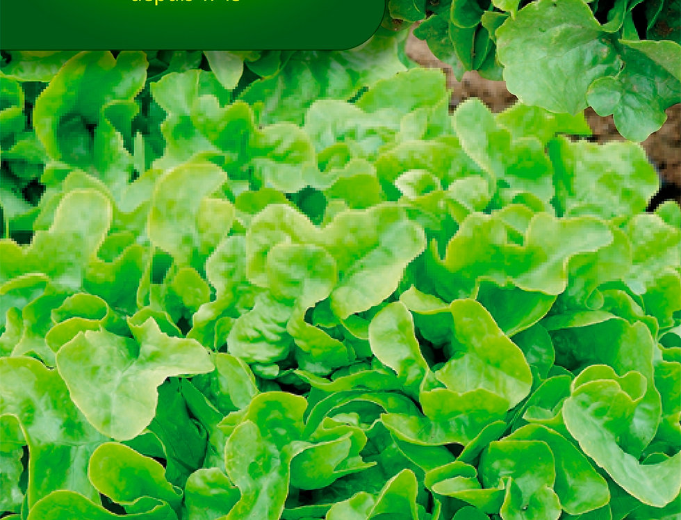 Eikenbladsla green salad bowl
