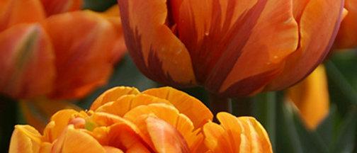 Tulp Orange princess