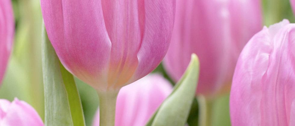 Tulp pink flag