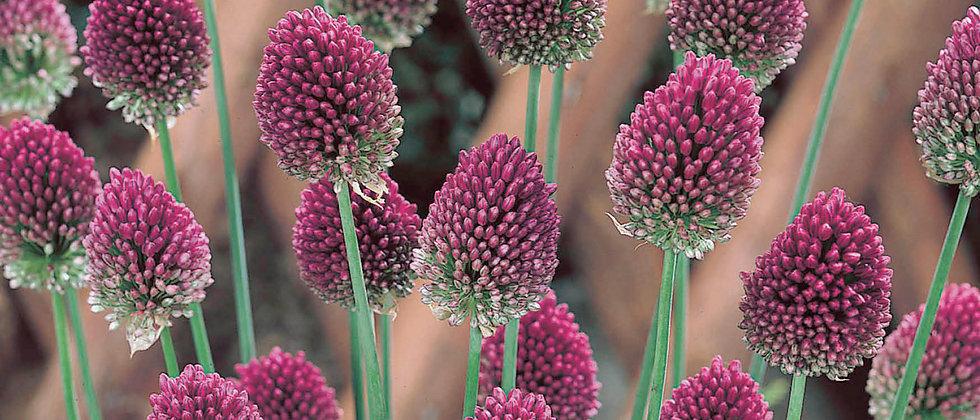 Allium Spearocephalum