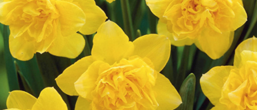 Narcis dick wilden