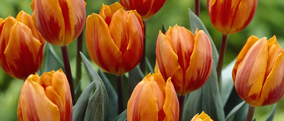 Tulp princess irene