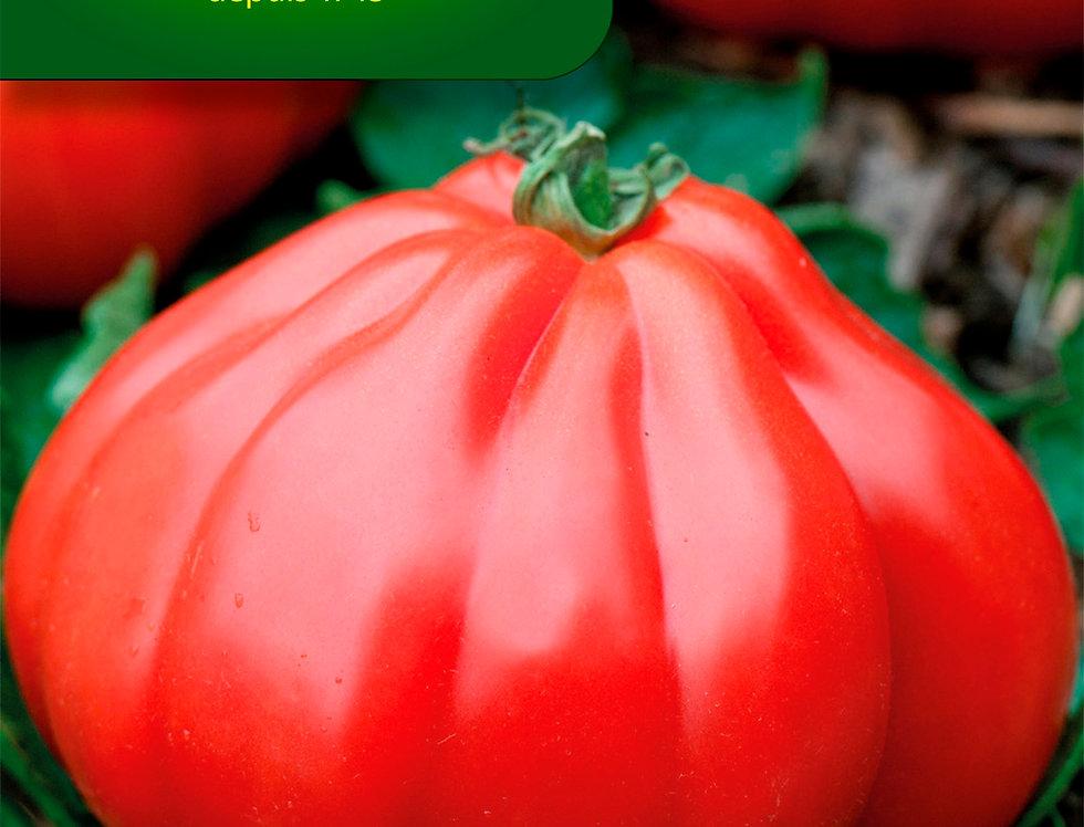 Tomaat Coeur de Boeuf Corazon HF1