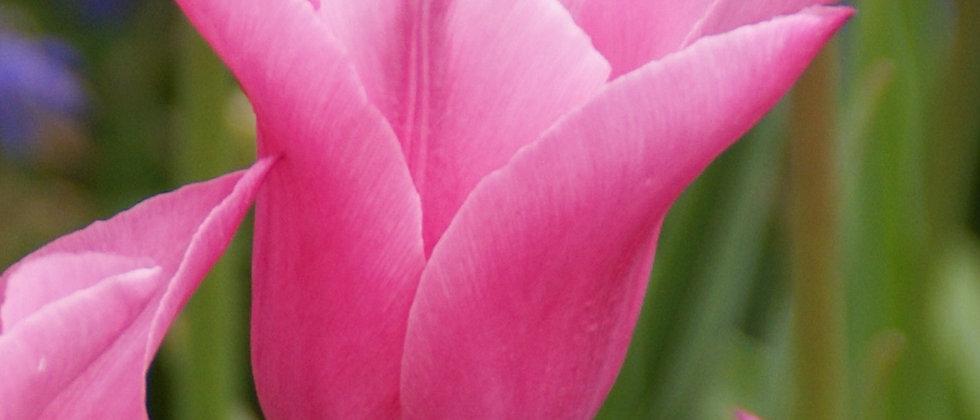 Tulp china pink