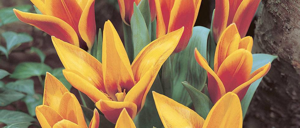 Tulp Flowerdale