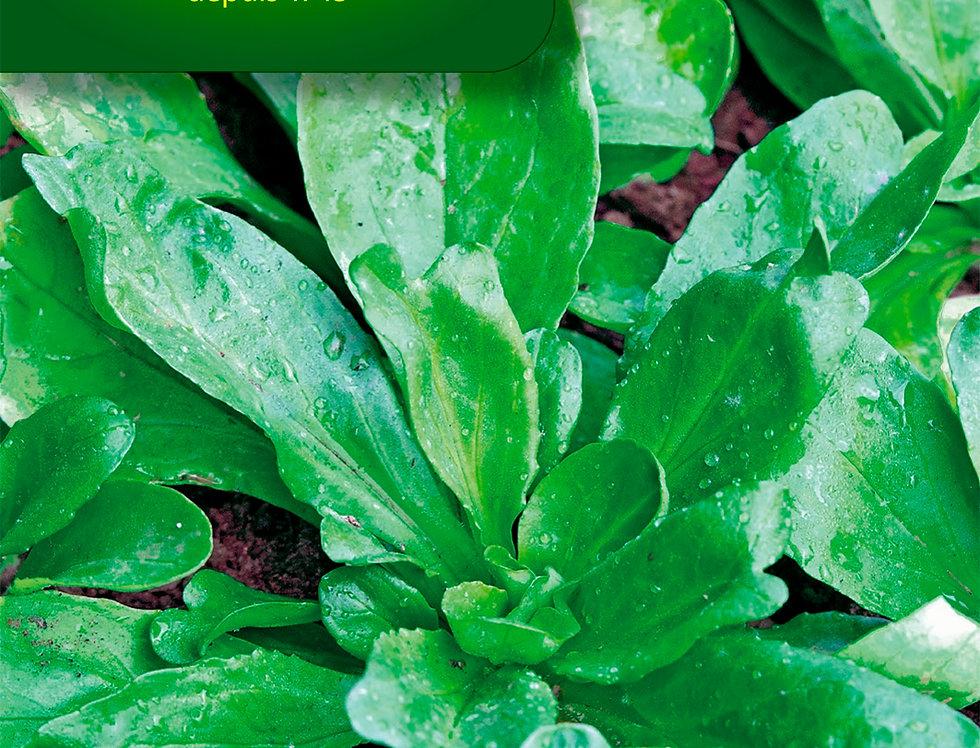 Veldsla groene Volhart
