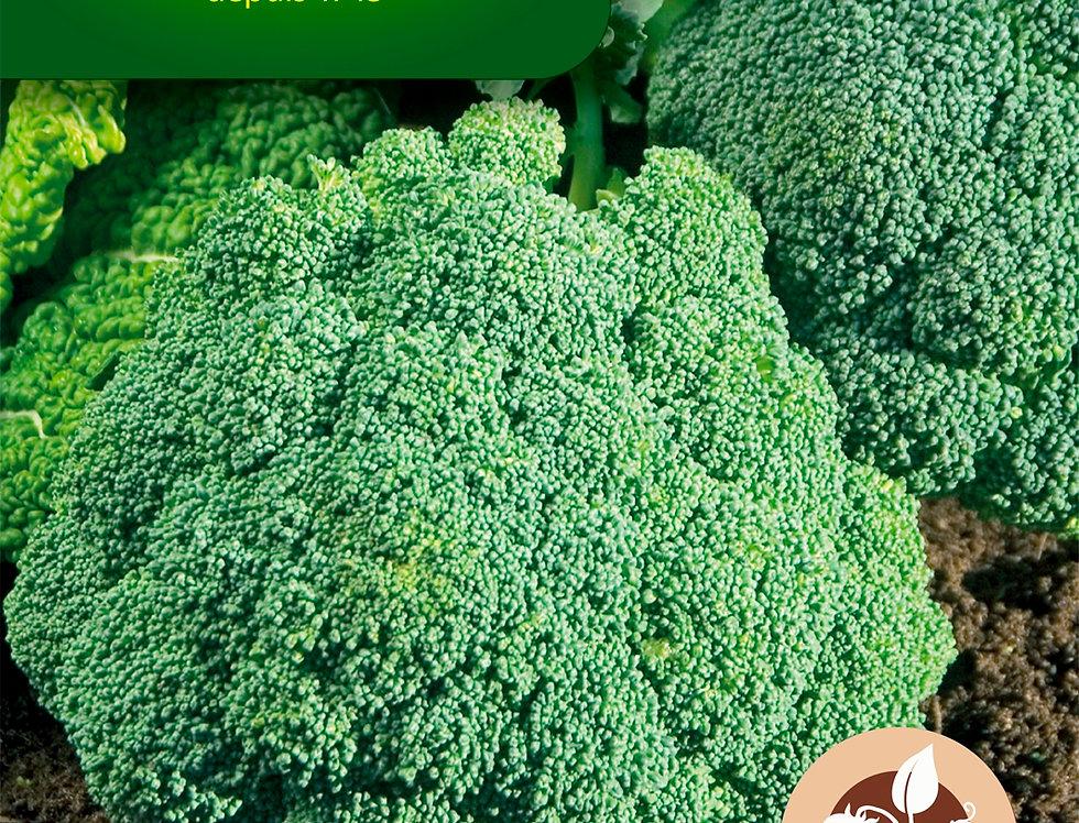 Broccoli Verdia HF1