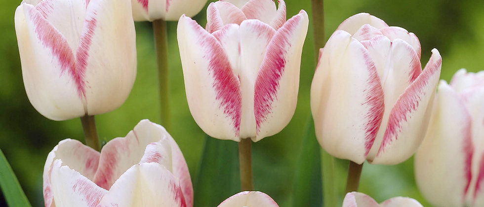Tulp make up