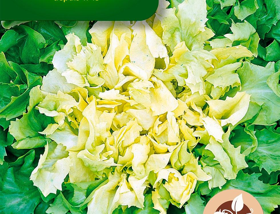 Andijvie breedblad Geante maraîchere - ras Salance