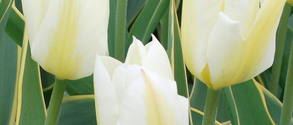 Tulp Purissima design