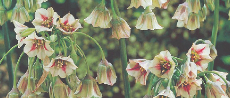 Nectaroscordum Bulgaricum