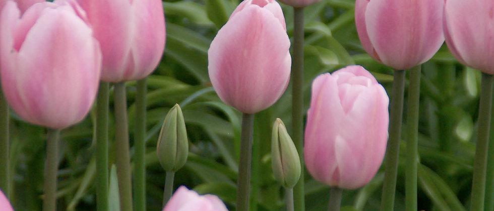 Tulp rosalies