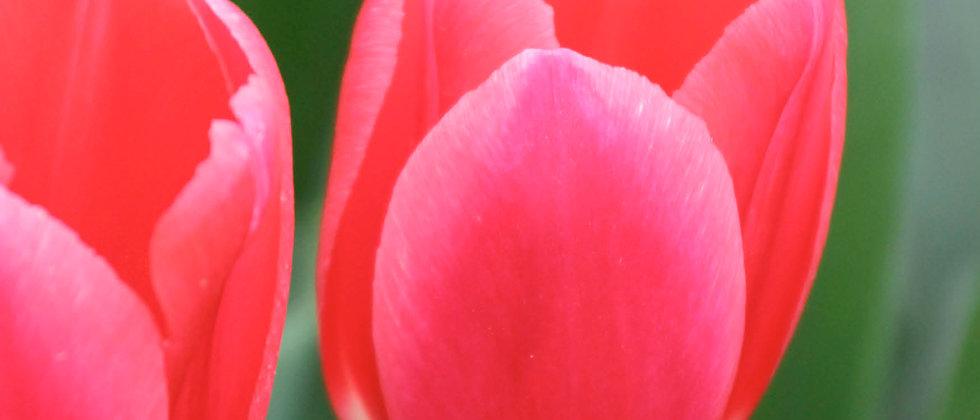 Tulp Rosy Delight
