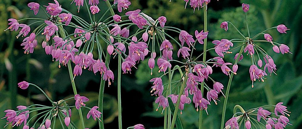 Allium Cernum