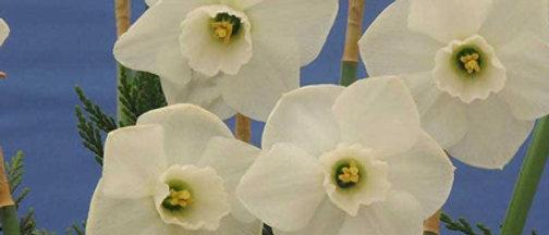 Narcis misty glen