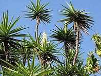 Yuca Tree.jpg