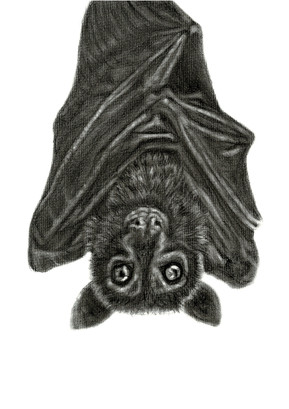 Spectacled Flying Fox a4.jpg