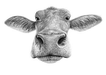 Farm Animals cow face.jpg