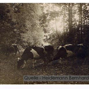 11-N-HEID-21 Kühe Waldlichtung