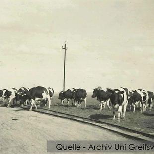 08-W-UNI-ARCH-13-Kühe-und-Bahngleis