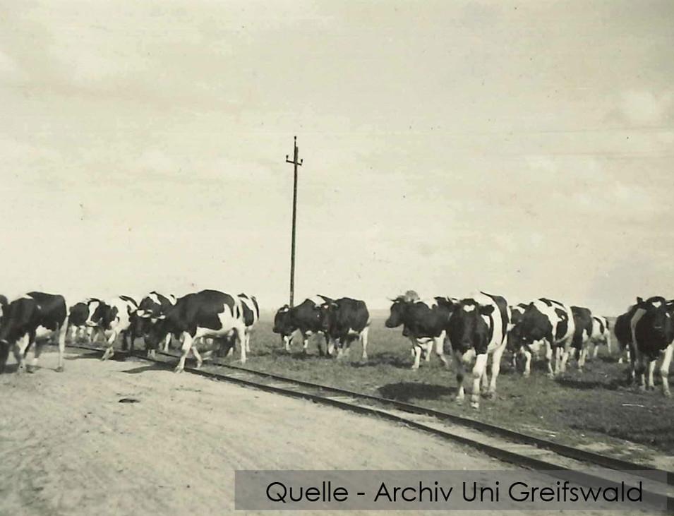 08-W-UNI-ARCH-13-Kühe-und-Bahngleis-K-60
