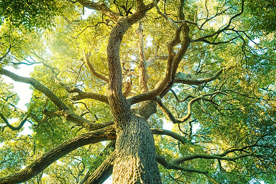 Tree,forest, Camphor, ecology image.jpg