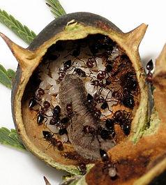 Anthene-caterpillar-ants HR1.jpeg